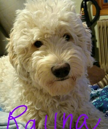 Available Puppies   NorthWoods Golden Doodles